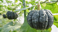 The Traditional Southern Japan Vegetable that Grows while Bathed in Sunlight: Black-skinned Pumpkins
